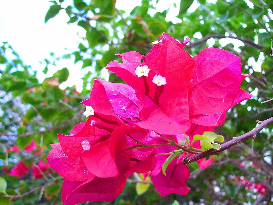 A beautiful Bougainvillea bloom in Nassau, Bahamas